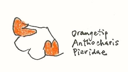 orangetip_2016mar23_sm