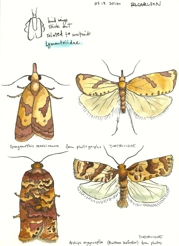 mothcollecting4_2016may18_sm