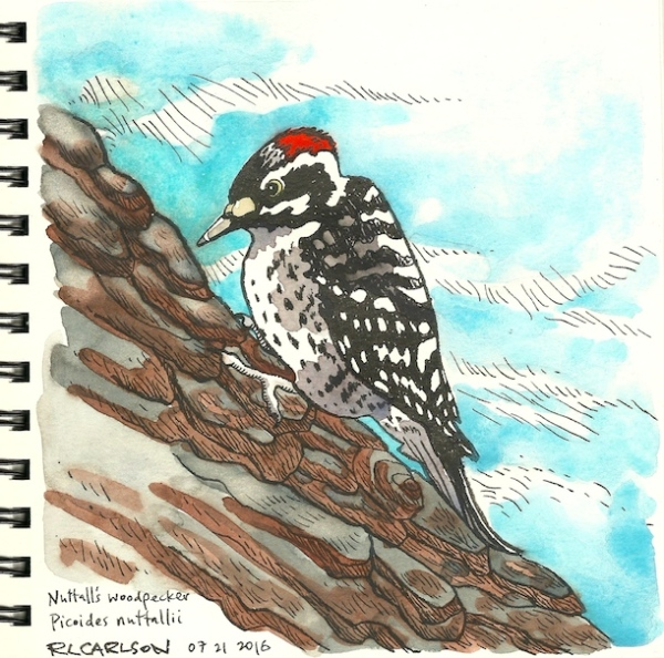nuttallswoodpecker_2016jul21_sm