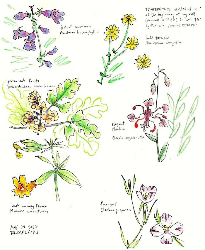 Wildflowers1_2017May29_sm